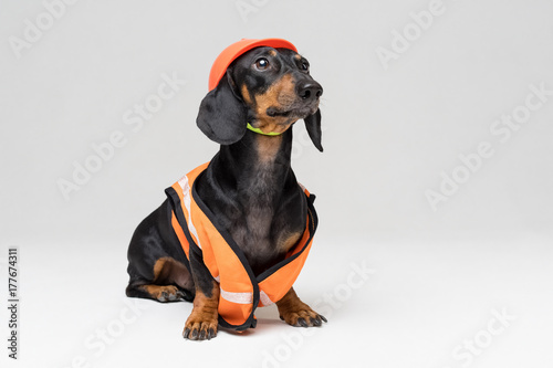 Keuken foto achterwand Crazy dog cute dog builder dachshund in an orange construction helmet and a vest, isolated on gray background, look to the top