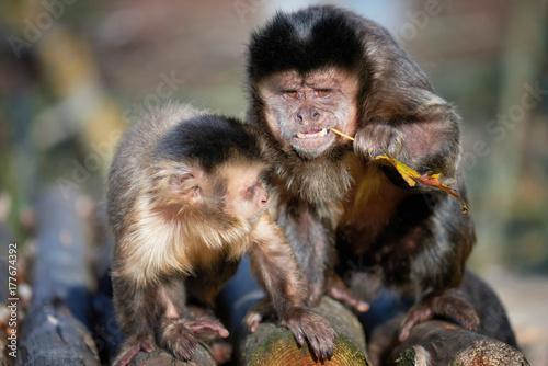 Capuchin monkey Wallpaper Mural