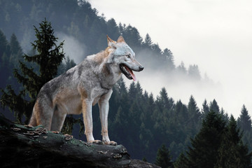 FototapetaWolf hunting in mountain