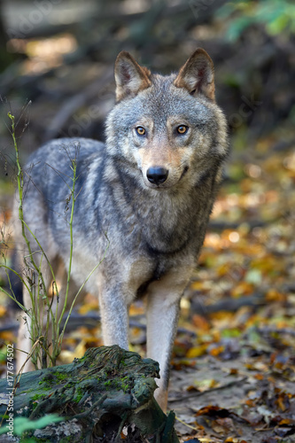 wolf hunting in the forest kaufen sie dieses foto und finden sie hnliche bilder auf adobe. Black Bedroom Furniture Sets. Home Design Ideas