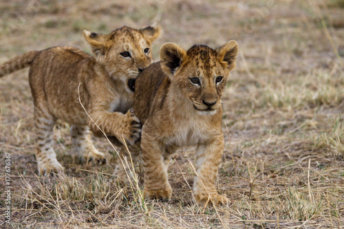 Photographie lion cubs playing
