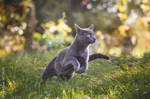 Fotobehang Kat Cute russian blue cat running in nature
