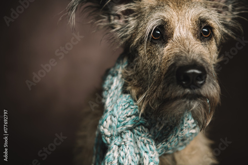 Valokuva  A dog with large brown eyes sits and looks into the camera, his neck is wrapped in a warm scarf
