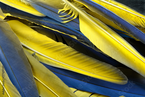 Close up of blue and yellow macaw bird feathers