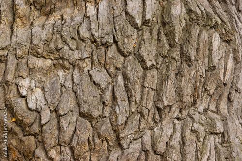 Keuken foto achterwand Baobab Bark of old oak background, texture