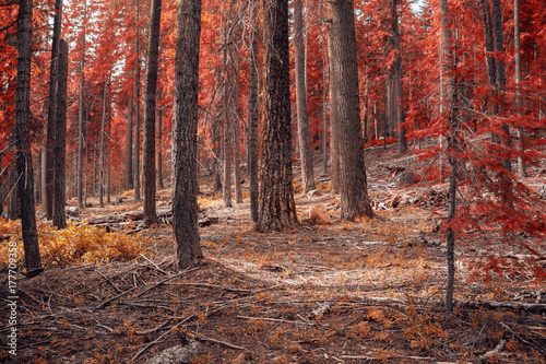 Fototapeta Red Forests in Fall | Oregon