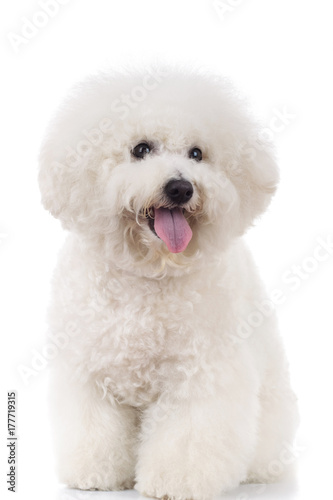 Valokuva seated and panting bichon frise