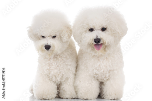 couple of beautiful bichon frise puppies sitting together Wallpaper Mural