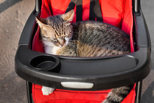 Cat In Stroller On A Trip