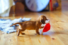 A Small Puppy Of The Taka Breed Runs Around The House With A Santa Claus Hat In His Teeth.
