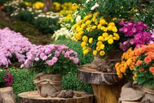 Bouquet Of Beautiful Chrysanthemum Flowers Outdoors