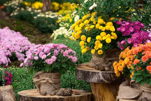 Stampa su Tela bouquet of beautiful chrysanthemum flowers outdoors