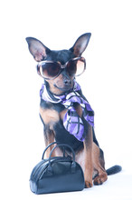 Dog Mod, Tourist, Traveler. A Dog In Sun Glasses, A Handkerchief And A Bag. Russian Toy Terrier , Isolated