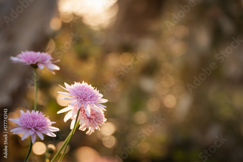 Lovely Pink Flowers On A Natural Sunset Bokeh Background Buy This