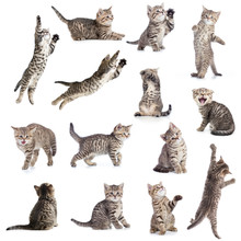 Cats Or Kittens Isolated Collection