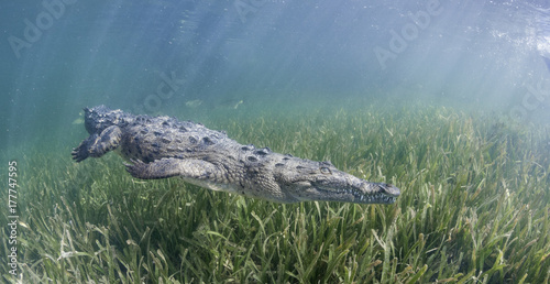 Fotobehang Krokodil Cuban crocodile swimming along the sea grass in the mangrove areas of Gardens Of the Queens Marine Reserve, Cuba.