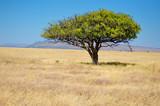 Fototapeta Sawanna - African savanna grassland landscape, acacia tree in savannah in Africa