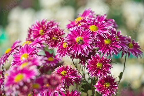 Staande foto Roze Chrysanthemum flowers. Landscape design. Flowerbed.