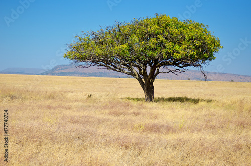 Deurstickers Afrika African savanna grassland landscape, acacia tree in savannah in Africa