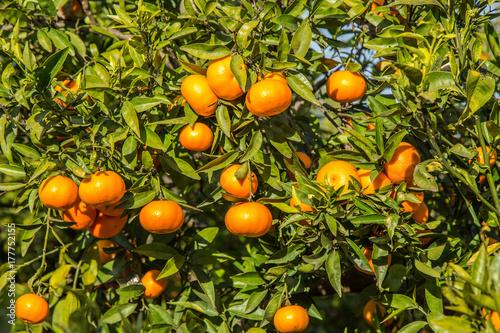 Mogna clementiner på träd i en citrusodling Canvas Print