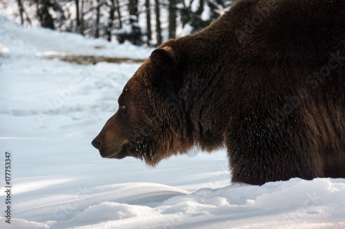 Plakát  old brown bear hunting in winter forest