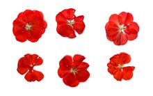 Pressed And Dried Delicate Red Flowers Geranium (pelargonium). Isolated.