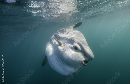 Oceanic sun fish, or mola mola, swimming on the surface during the sardine run off the east coast of South Africa Canvas Print
