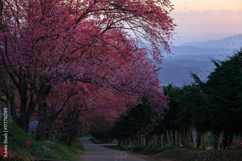 In de dag Crimson Landscape morring sunrise with Cherry blossom pathway in Khun Wang ChiangMai, Thailand.