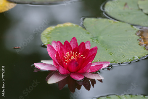 Wall Murals Water lilies Beautiful, pink lily flower with leaves