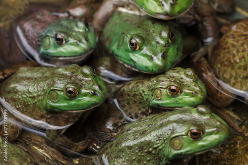 Close on group of frogs in water