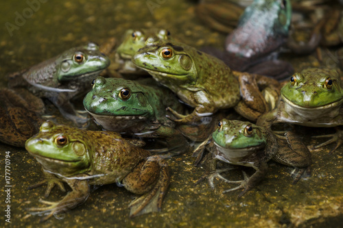 Photographie Group of frogs in a pond
