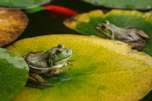 Cute Frogs Sitting On Lily Leaves