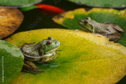 Spoed Foto op Canvas Kikker Cute frogs sitting on lily leaves