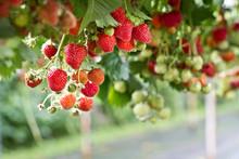 Strawberry In The Farm Ready T...