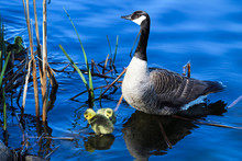 A Mother Goose Watches Her Gos...
