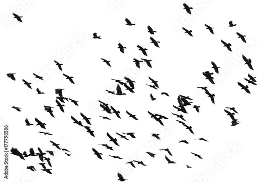 Photographie large flock of black birds crows flying on an isolated white background