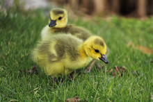 Closeup Of Two Baby Goslings In The Grass