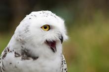 Snowy Owl Calling