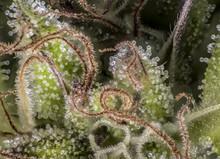 Cannabis Marihuana Macro Resin