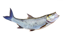 The Asp Fish - Aspius Aspius. Fishing Catch Of Predatory Fish.  Animals Isolated On White Background.