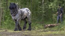 Ardennenpferd Beim Holz Rücken
