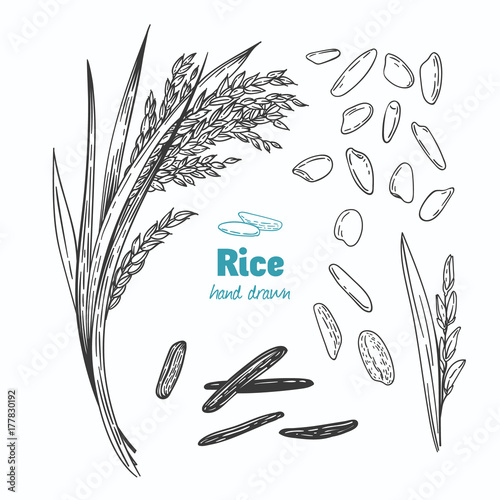 Fotografie, Obraz  Rice vector hand drawn illustration