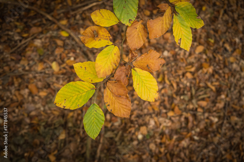 Beech leaves in autumn colors with dry brown leaves in the background