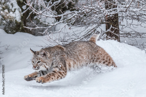 Photo Stands Lynx Bobcat