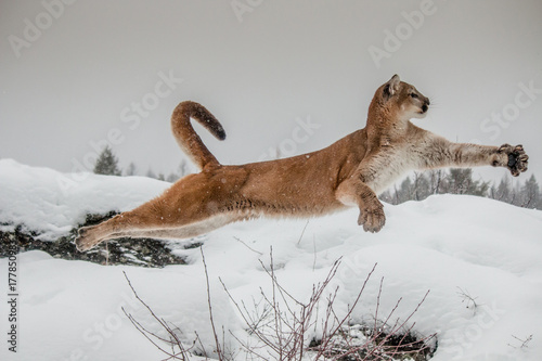 Canvas Prints Puma Mountain Lion