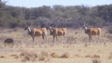 Three Large Eland Antelope Sta...