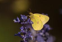 Orange Sulphur Butterfly (Coli...