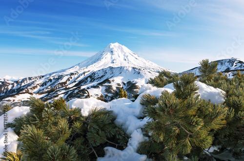 Fototapeta śnieg na drewnie cedru elfiego i wulkan Viluchinskiy daleko
