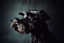 Black Shnauzer Terrier