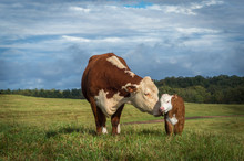 Hereford Mama Cow And Baby Cal...